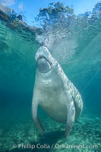 West Indian manatee. Three Sisters Springs, Crystal River, Florida, USA, Trichechus manatus, natural history stock photograph, photo id 02658