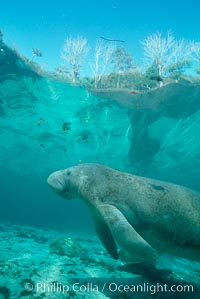 West Indian manatee. Three Sisters Springs, Crystal River, Florida, USA, Trichechus manatus, natural history stock photograph, photo id 02661