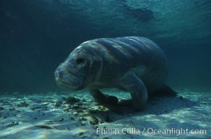 West Indian manatee. Three Sisters Springs, Crystal River, Florida, USA, Trichechus manatus, natural history stock photograph, photo id 02704