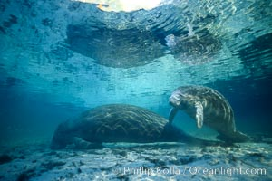 Florida Manatees at Three Sisters Springs, Crystal River, Florida, Trichechus manatus