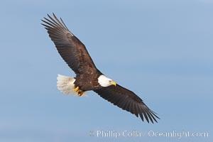 Bald eagle in flight, wing spread, soaring. Kachemak Bay, Homer, Alaska, USA, Haliaeetus leucocephalus, Haliaeetus leucocephalus washingtoniensis, natural history stock photograph, photo id 22581