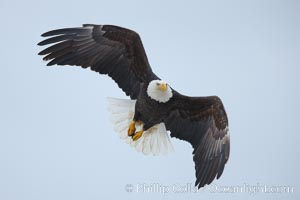 Bald eagle in flight, wings spread, Haliaeetus leucocephalus, Haliaeetus leucocephalus washingtoniensis, Kachemak Bay, Homer, Alaska