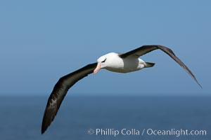 Black-browed albatross soaring in the air, near the breeding colony at Steeple Jason Island, Thalassarche melanophrys
