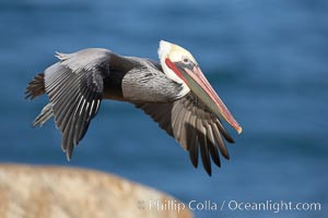 Brown pelican in flight.  The wingspan of the brown pelican is over 7 feet wide. The California race of the brown pelican holds endangered species status.  In winter months, breeding adults assume a dramatic plumage. La Jolla, California, USA, Pelecanus occidentalis, Pelecanus occidentalis californicus, natural history stock photograph, photo id 20021