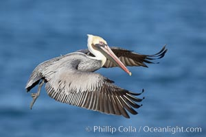 Image 20032, Brown pelican in flight.  The wingspan of the brown pelican is over 7 feet wide. The California race of the brown pelican holds endangered species status.  In winter months, breeding adults assume a dramatic plumage. La Jolla, California, USA, Pelecanus occidentalis, Pelecanus occidentalis californicus