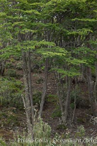 Forest, Tierra del Fuego National Park, Argentina. Tierra del Fuego National Park, Ushuaia, Argentina, natural history stock photograph, photo id 23610