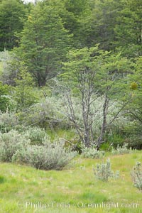 Forest, Tierra del Fuego National Park, Argentina. Ushuaia, natural history stock photograph, photo id 23612