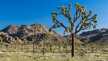 Forest of Joshua Trees. Joshua Tree National Park, California, USA, natural history stock photograph, photo id 29181