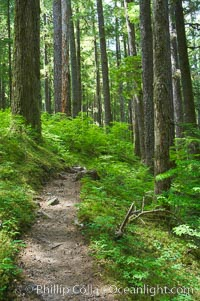 A hiking path leads through old growth forest of douglas firs and hemlocks, with forest floor carpeted in ferns and mosses.  Sol Duc Springs, Olympic National Park, Washington