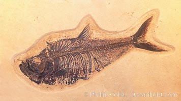 Fossil fish, collected in Green River Formation, Fossil Lake, Kemmerer, Wyoming, dated to the Eocene Era.  Order: Ellimmichyiformes: Family; Ellimmichthyidae; Diplomystus dentatus., Diplomystus dentatus, natural history stock photograph, photo id 20866