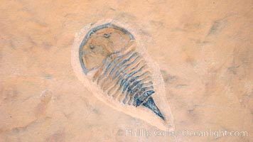 Trilobitomorph fossil, aglaspic, collected at Weeks Formation, Millard County, Utah. Phylum: Arthropoda; Class: Merostomata; Order: Aglaspida. Date to the Upper Middle Cambrian, Cenomanian Stage., natural history stock photograph, photo id 20867