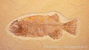 Fossil fish, collected at the Green River Formation, Kemmerer, Wyoming, dated to the Eocene Era., Phareodus, natural history stock photograph, photo id 20869