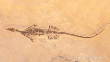Freshwater lizard fossil, collected in Ceara, Brazil, dated 130 million years old., natural history stock photograph, photo id 20864