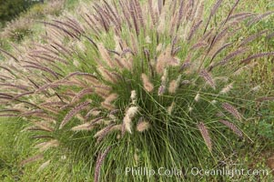 Fountain grass, Pennisetum setaceum, Carlsbad, California