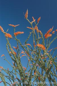 Flower detail on a blooming Ocotillo, springtime. Joshua Tree National Park, California, USA, Fouquieria splendens, natural history stock photograph, photo id 09166