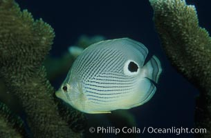 Foureye butterflyfish, Chaetodon capistratus, Roatan