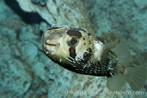 Freckled porcupinefish., Diodon holocanthus, natural history stock photograph, photo id 11894