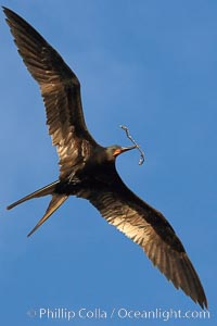 Great frigatebird, adult male, in flight, carrying twig for nest building, green iridescence of scapular feathers identifying species.  Wolf Island, Fregata minor