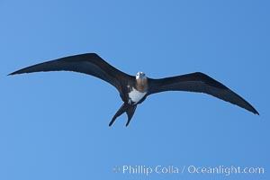 Great frigatebird, juvenile, in flight, rust-color neck identifies species.  Wolf Island, Fregata minor