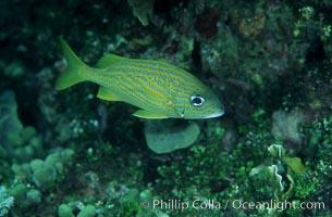 French grunt. Bahamas, Haemulon flavolineatum, natural history stock photograph, photo id 05217