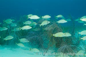 French grunts over a sandy bottom and sea fans.  Northern Bahamas