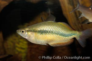 Unidentified freshwater fish, perhaps a rainbowfish