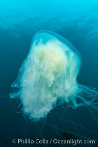 Fried-egg jellyfish, drifting through the open ocean, San Clemente Island