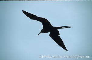 Frigate bird. South Plaza Island, Galapagos Islands, Ecuador, Fregata, natural history stock photograph, photo id 01781