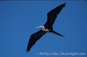 Frigate bird, juvenile (note white head), Punta Suarez, Fregata, Hood Island