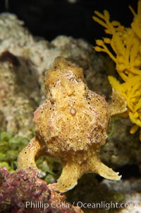 Frogfish, unidentified species.  The frogfish is a master of camoflage, lying in wait, motionless, until prey swims near, then POW lightning quick the frogfish gulps it down
