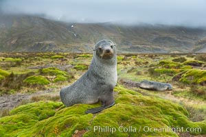 Antarctic fur seal on grassy mounds found along the shoreline of Stromness Bay, Arctocephalus gazella, Stromness Harbour