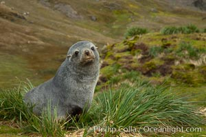 Image 24616, Antarctic fur seal on tussock grass. Fortuna Bay, South Georgia Island, Arctocephalus gazella
