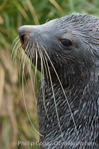 Antarctic fur seal, adult male (bull), showing distinctive pointed snout and long whiskers that are typical of many fur seal species. Fortuna Bay, South Georgia Island, Arctocephalus gazella, natural history stock photograph, photo id 24624