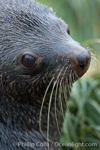 Antarctic fur seal, adult male (bull), showing distinctive pointed snout and long whiskers that are typical of many fur seal species. Fortuna Bay, South Georgia Island, Arctocephalus gazella, natural history stock photograph, photo id 24625