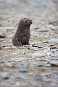 Antarctic fur seal, young pup, juvenile, Arctocephalus gazella, Fortuna Bay