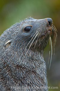 Antarctic fur seal, adult male (bull), showing distinctive pointed snout and long whiskers that are typical of many fur seal species. Fortuna Bay, South Georgia Island, Arctocephalus gazella, natural history stock photograph, photo id 24632