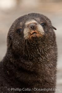 Antarctic fur seal, young pup, juvenile. Fortuna Bay, South Georgia Island, Arctocephalus gazella, natural history stock photograph, photo id 24645