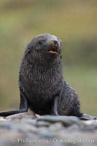 Antarctic fur seal, young pup, juvenile. Fortuna Bay, South Georgia Island, Arctocephalus gazella, natural history stock photograph, photo id 24660