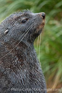 Antarctic fur seal, adult male (bull), showing distinctive pointed snout and long whiskers that are typical of many fur seal species. Fortuna Bay, South Georgia Island, Arctocephalus gazella, natural history stock photograph, photo id 24664