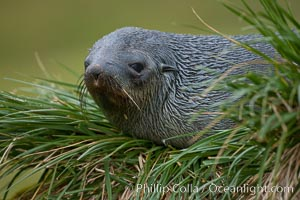 Antarctic fur seal on tussock grass, Arctocephalus gazella, Fortuna Bay