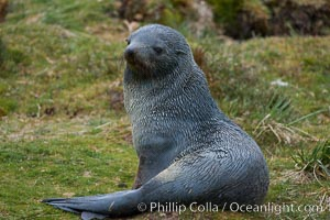 Antarctic fur seal. Fortuna Bay, South Georgia Island, Arctocephalus gazella, natural history stock photograph, photo id 24681