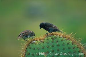 Galapagos finches, Darwins finches, Darwin Island