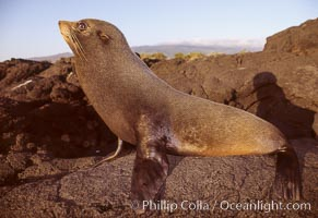 Galapagos fur seal. James Island, Galapagos Islands, Ecuador, Arctocephalus galapagoensis, natural history stock photograph, photo id 01554
