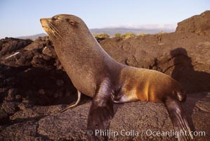 Galapagos fur seal. James Island, Galapagos Islands, Ecuador, Arctocephalus galapagoensis, natural history stock photograph, photo id 01564