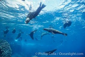 Galapagos fur seal, Arctocephalus galapagoensis, Darwin Island