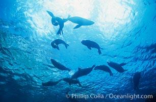 Galapagos fur seals, Arctocephalus galapagoensis, Darwin Island