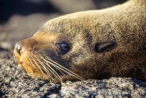 Galapagos fur seal,  James Island. Galapagos Islands, Ecuador, Arctocephalus galapagoensis, natural history stock photograph, photo id 01687