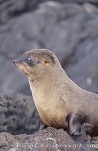 Galapagos fur seal. James Island, Galapagos Islands, Ecuador, Arctocephalus galapagoensis, natural history stock photograph, photo id 02244