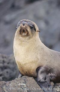 Galapagos fur seal. James Island, Galapagos Islands, Ecuador, Arctocephalus galapagoensis, natural history stock photograph, photo id 10069