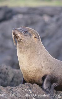 Galapagos fur seal. James Island, Galapagos Islands, Ecuador, Arctocephalus galapagoensis, natural history stock photograph, photo id 10070